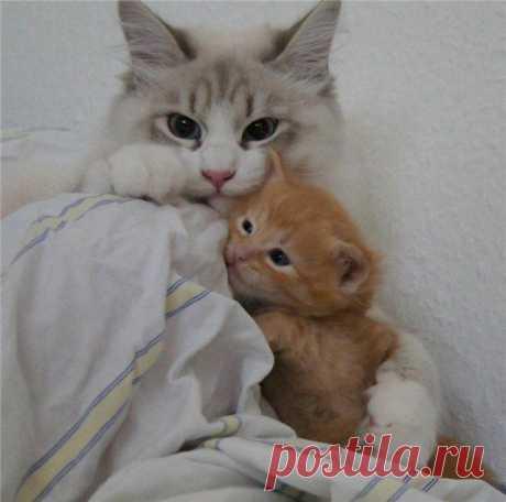 Невский маскарадный кот Potap Formula Uspekha*rus живет в Германии