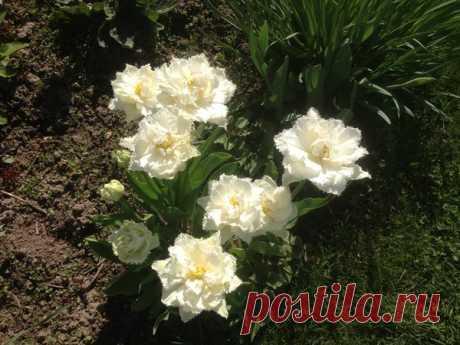 Как правильно сажать тюльпаны. (1) Место - Есть время под солнцем
