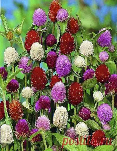 Гомфрена - очень красивый и маленький цветок