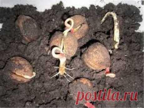 Грецкий орех из семян. Посадка!!!