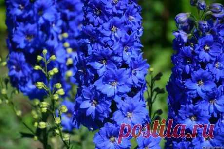 Рассказываю о красивых садовых растениях, при выращивании которых следует соблюдать осторожность. Часть 1   Простые радости жизни   Яндекс Дзен