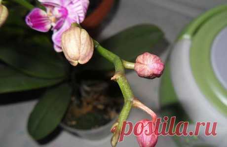 Que hacer y por qué cerca de la orquídea se marchitan las flores