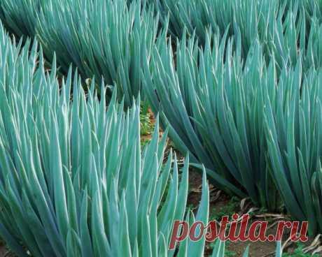 Чем подкормить зеленый лук для сочности и быстрого роста | Сад, дом, огород | Яндекс Дзен