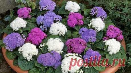 Цветы агератум: выращивание, описание и посадка