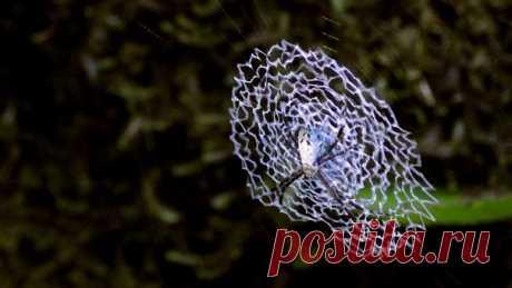 Наверняка вы не раз замечали на паутине сложный зигзагообразный узор. Он называется стабилиментум – и до сих пор никто точно не знает, зачем пауки его делают. Озвучиваем основные версии – выбирайте ту, что вам больше по вкусу.