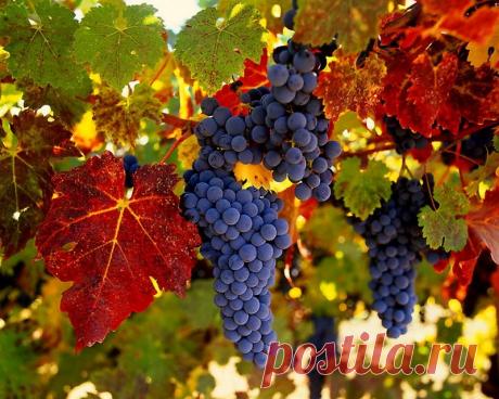 7 причин,почему нужно есть виноград при диабете. | Диабет. Здоровье. Кулинария. | Яндекс Дзен