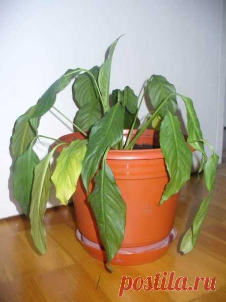 Спатифиллум: чернеют и сохнут кончики листьев — что делать
