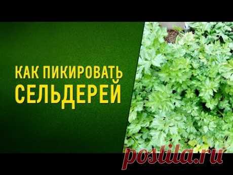 Как пикировать сельдерей How to dive celery