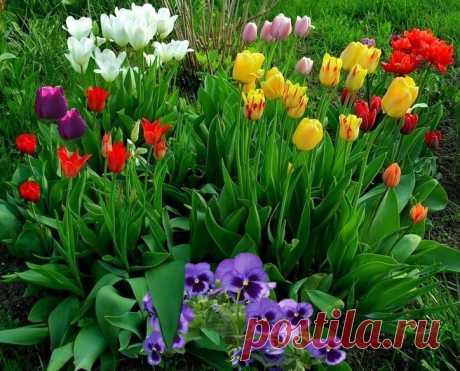 Маленькие секреты о тюльпанах или сорта тюльпанов для ленивых дачников