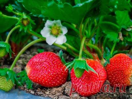 КОГДА сажать (сеять) семена КЛУБНИКИ на рассаду по лунному календарю 2020. Посадка клубники на рассаду в домашних условиях