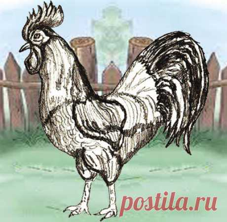 How to Draw a Rooster - Draw Step by Step