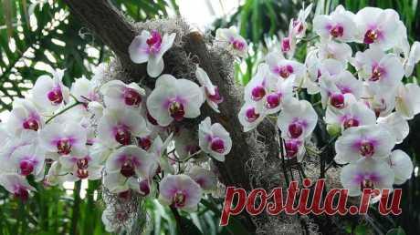 Уход за орхидеей-бабочкой: посадка, уход, подкормки Почему Бабочка? Название фаленопсис (именно так называется по-научному этот цветок) орхидея получила в 1825 году от ботаника-исследователя Карла Блюме. Это название происходит от двух греческих слов: ...