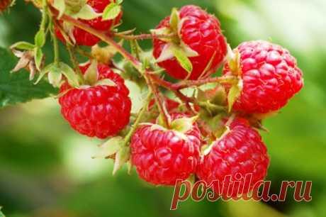 Как получить суперурожай малины и смородины ?