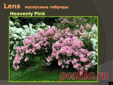 Розы - это просто! - YouTube