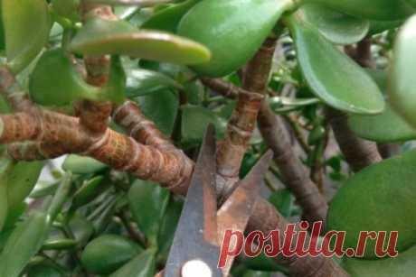 🎋Как обрезать денежное дерево и как провести прищипку, а также последующий уход Selo.Guru — интернет портал о сельском хозяйстве