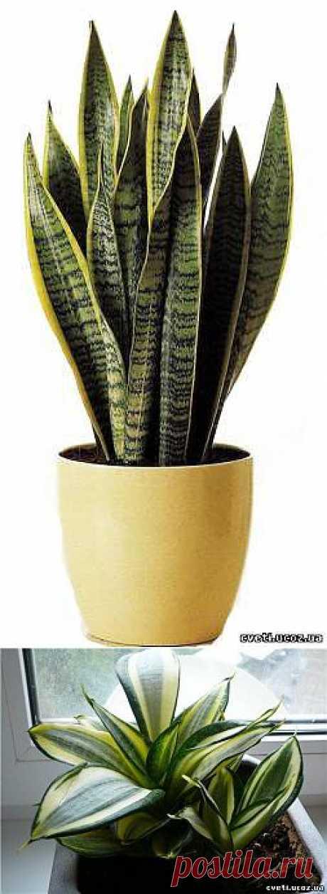 Сансевиерия (тещин язык или щучий хвост) - Сансевиерия (тещин язык) - Комнатные цветы и растения - Каталог статей - Цветы и растения