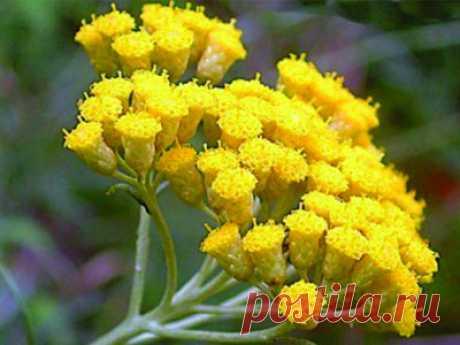 Al tratamiento zhelchnokamennoy de la enfermedad no pasar sin las hierbas - MirTesen