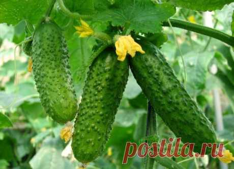 Йод и зеленка увеличат урожай огурцов и спасут от болезней