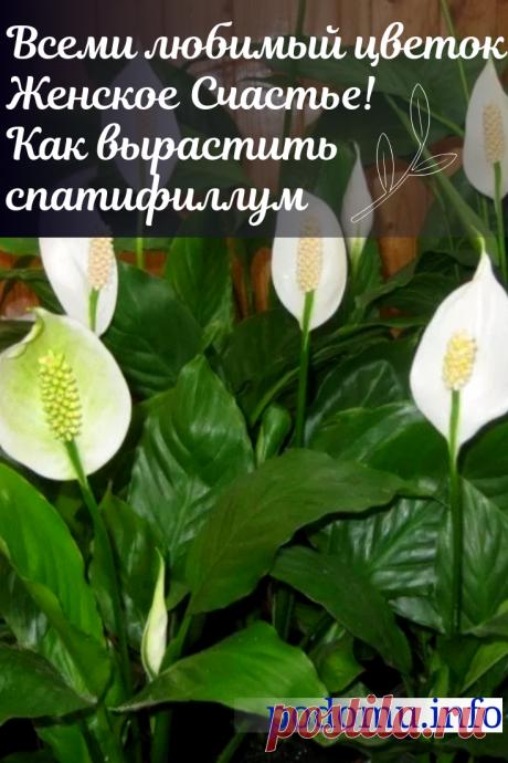 Женское счастье — как ухаживать за цветком в домашних условиях, как его пересадить, поливать и чем удобрять #;женскоесчастье#спатифиллум#спатифилум#цветы#цветоводство#цветник#оранжерея#цветокженскоесчастье#спатифиллумуход