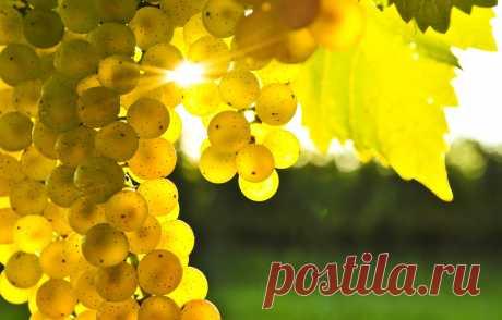 Морозостойкие сорта винограда винного и столового сладкого: какие неукрывные Какие преимущества у морозоустойчивых разновидностей винограда. Лучшие морозостойкие сорта технического (винного) и столового винограда, какие бывают неукрывные и повышенной устойчивости. Особенности выращивания зимостойких сортов.