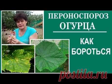 Que curar las manchas sobre las hojas del pepino. Las enfermedades de los pepinos de Peronosporoz
