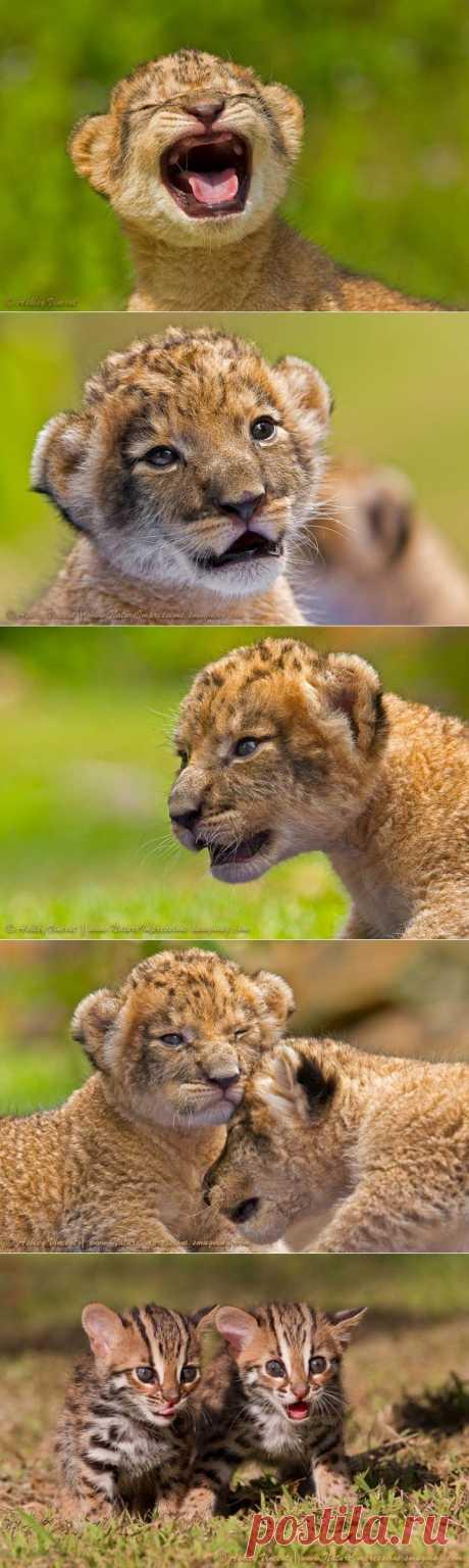 (+1) тема - Львята и бенгальские кошки | НАУКА И ЖИЗНЬ