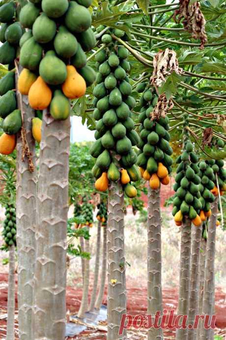El papayo. El árbol de pan. Busquen en los trópicos o los supermercados