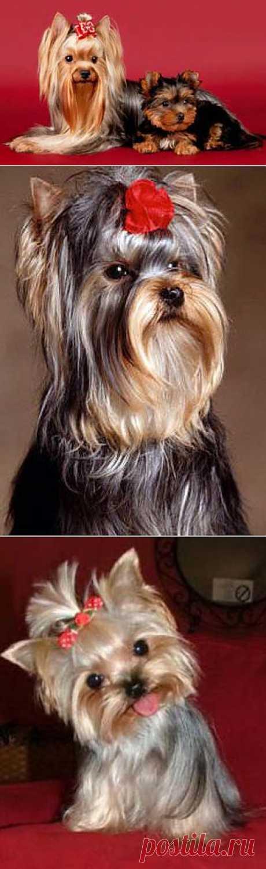 Маленькие собаки - йоркширский терьер