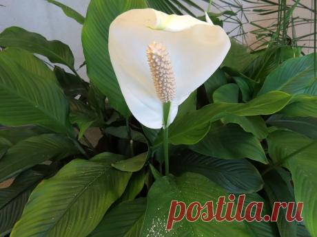 Женское счастье, королевский цветок, растение-парус. Как только в народе не называют спатифиллум