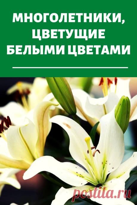 Многолетники, цветущие белыми цветами: прекрасное украшение сада