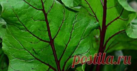 Свекольные листья для эффективной борьбы с болезнью Альцгеймера и анемией