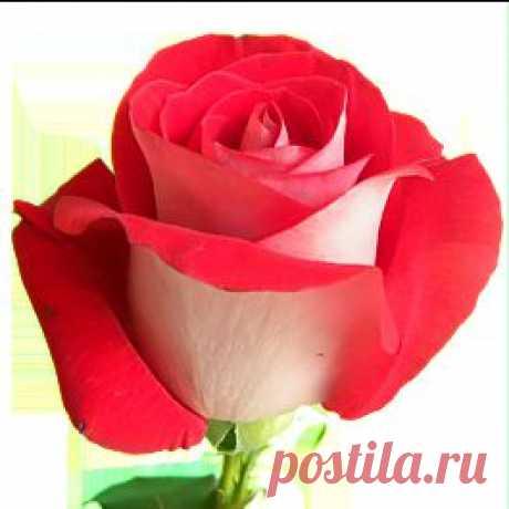 Latin Lady - Розы двухцветные - Розы