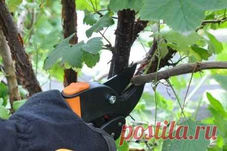 Летняя обрезка смородины - залог богатого урожая | Любимая Дача | Яндекс Дзен