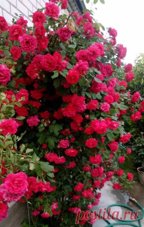 Старинная подкормка роз из книги «Домоводство» 60-х годов — будут цвести как на фото в глянцевых журналах | Маленький сад на краю Вселенной | Яндекс Дзен
