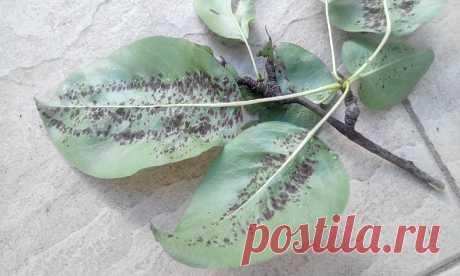 Галловый клещ: как защитить грушу и другие деревья от вредителя | 6 соток