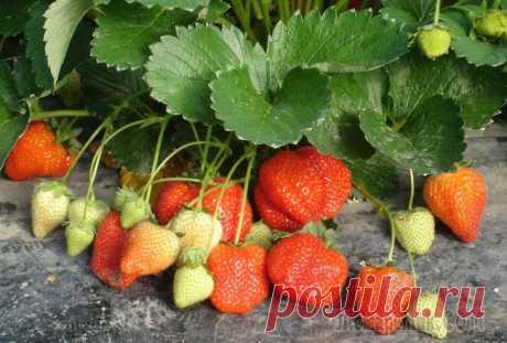 Клубнику подкармливаем дрожжами! Для повышения урожая клубники можно использовать подкормку из дрожжей. Результат, по отзывам...