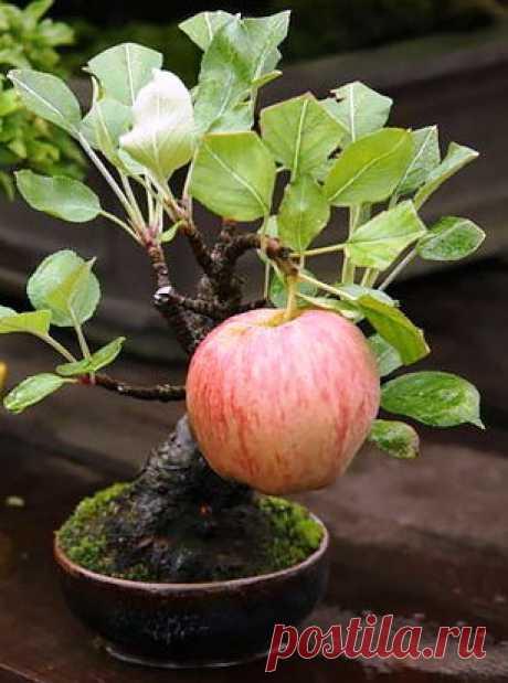 Дерево, радующее глаз и не сложное в уходе --  бонсай. И даже фрукты дает!