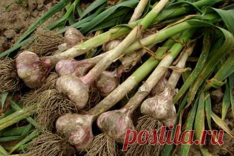 Когда собирать чеснок: благоприятные дни для сбора урожая