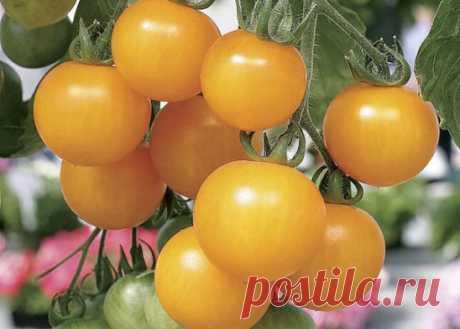 Желтая вишня на огороде  Есть мнение, что томаты черри не урожайны. Обычно это так и есть, но есть сорта из другого разлива. Например, сорт Вишня желтая. Трех кустов этого сорта вполне достаточно, чтобы наесться сладкими пом…