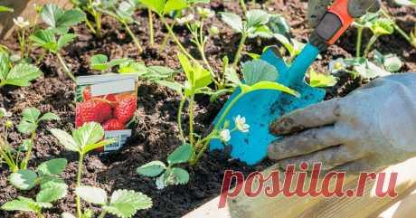 Уход за клубникой весной: как добиться максимального плодоношения Вытаявшие гряды с клубникой весной крайне неприглядны. Как превратить эти полузамерзшие безжизненные кустики в усыпанные ягодами?