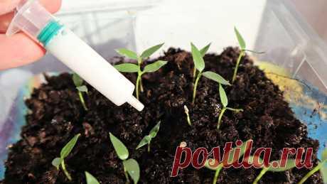 Капля этого настоя сделает рассаду красивой и здоровой - Сам себе мастер - медиаплатформа МирТесен Отличный настой из скорлупы яиц для роста рассады! Капля этого настоя сделает рассаду красивой и здоровой! Подкормка рассады томатов и перца яичной скорлупой!