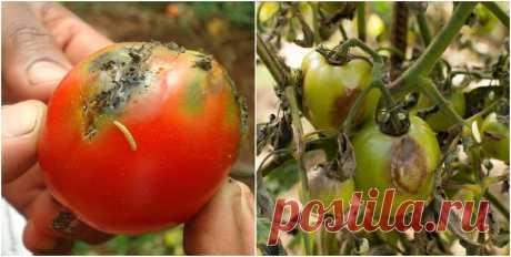 Чому помідори починають гнити на кущах, та як позбутися цієї проблеми Причинами гниття помідорів на стеблі можуть бути зараження ґрунту шкідливими бактеріями, надмірна вологість, надлишковий чи недостатній полив та підживлення, не проводяться прополки від бур'янів, недотримання правил сівозміни.    Застосування хімічних препаратів не бажано в час збору врожаю,