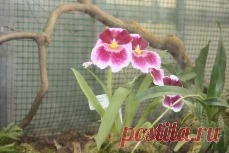 Воздушные корни орхидей - Садоводка
