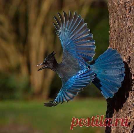 Черноголовая голубая сойка