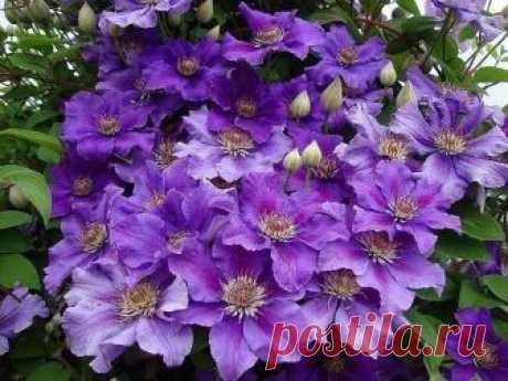 Все про клематисы   КАК ПОДОБРАТЬ «КЛЮЧИ» К КЛЕМАТИСУ   «Из цветов я выращиваю в своем саду только клематисы и розы», - говорит почвовед-эколог Павел ТРАННУА, который любит эти цветы за мощь и силу, а главное за то, чт…