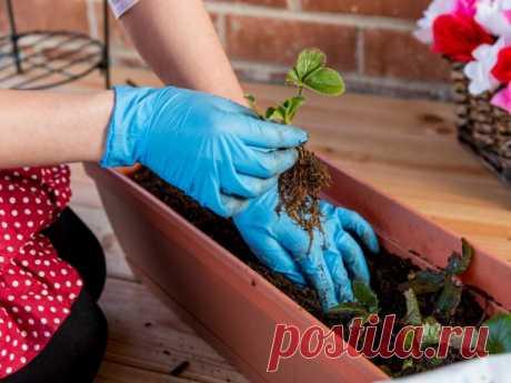 Как вырастить землянику дома - Статья - Журнал - FORUMHOUSE