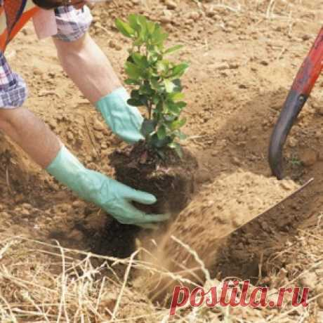 Para que poner la hoja de hojalata al fondo del hoyo a la plantación del plantón