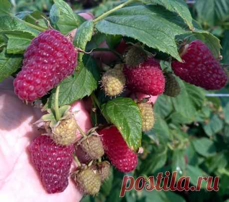 Вот как повысить урожайность малины  Современные сорта малины очень урожайны. 5-6 кг ягод с куста – вполне достижимый результат. Но чтобы такой результат получить, нужно учитывать потребности малины в питательных веществах и регулярных …