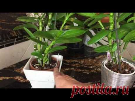 How to look after an orchid Dendrobium to a nobila. Light, watering and fertilizer for an orchid.