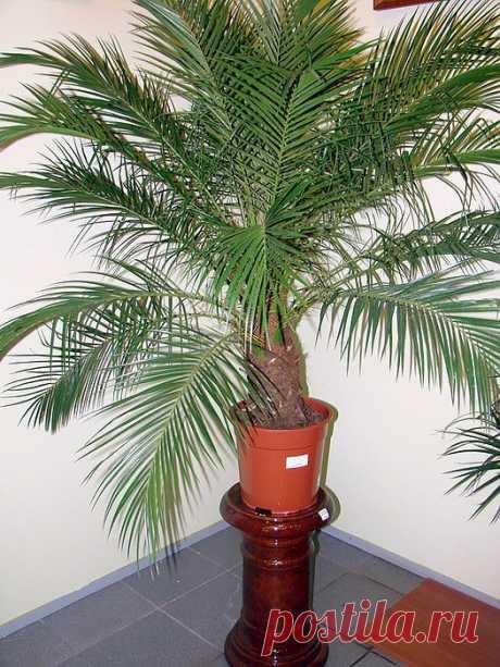 Как вырастить финиковую пальму из косточки.